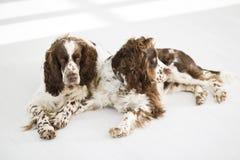 Two English Springer Spaniels Stock Photo
