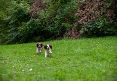 Two English Springer Spaniels Dogs Playing on the grass. Playing with Tennis Ball. Two English Springer Spaniels Dogs Stock Photography