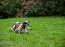 Two English Springer Spaniels Dogs Playing on the grass. Playing with Tennis Ball. Two English Springer Spaniels Dogs Playing royalty free stock image
