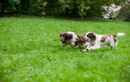 Two English Springer Spaniels Dogs Running and Playing on the grass. Playing with Tennis Ball. Two English Springer Spaniels Dogs Running Royalty Free Stock Image
