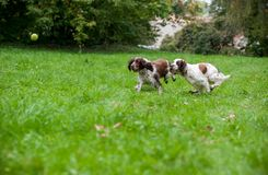 Two English Springer Spaniels Dogs Running and Playing on the grass. Playing with Tennis Ball. Two English Springer Spaniels Dogs Running Stock Images