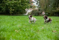 Two English Springer Spaniels Dogs Running and Playing on the grass. Playing with Tennis Ball. Two English Springer Spaniels Dogs Stock Photos