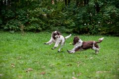 Two English Springer Spaniels Dogs Running and Playing on the grass. Playing with Tennis Ball. Two English Springer Spaniels Dogs Running stock photo