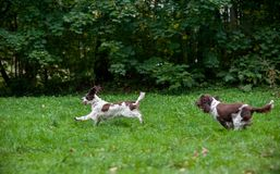 Two English Springer Spaniels Dogs Running and Playing on the grass. Two English Springer Spaniels Dogs Running Stock Images