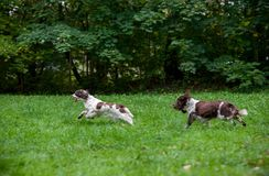 Two English Springer Spaniels Dogs Running and Playing on the grass. Two English Springer Spaniels Dogs Running Stock Photography