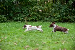 Two English Springer Spaniels Dogs Running and Playing on the grass. Playing with Tennis Ball. Two English Springer Spaniels Dogs Running Royalty Free Stock Photography