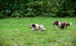 Two English Springer Spaniels Dogs Running and Playing on the grass. Playing with Tennis Ball. Two English Springer Spaniels Dogs Running Royalty Free Stock Images