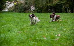 Two English Springer Spaniels Dogs Running and Playing on the grass. Playing with Tennis Ball. Two English Springer Spaniels Dogs Running Stock Photography