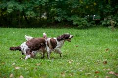 Two English Springer Spaniels Dogs Running and Playing on the grass. Playing with Tennis Ball. Ball is in Mouth. Two English Springer Spaniels Dogs Running Royalty Free Stock Photo