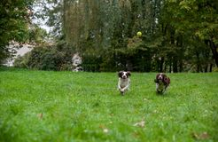 Two English Springer Spaniels Dogs Running and Playing on the grass. Playing with Tennis Ball. Two English Springer Spaniels Dogs Running Royalty Free Stock Photo