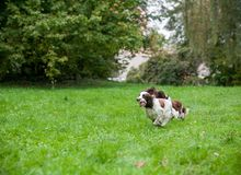Two English Springer Spaniels Dogs Running and Playing on the grass. Playing with Tennis Ball. Two English Springer Spaniels Dogs Running Stock Photos