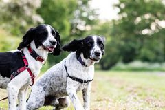 Two English Springer Spaniels out for a walk together. With one about to run towards the camera royalty free stock photography