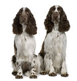 Two English Springer spaniels, sitting. Two English Springer spaniels, 1 and 2 years old, sitting in front of white background Stock Photo