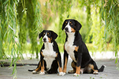 Two Entlebucher Mountain Dog. Sitting under the branches of the weeping willow Stock Photos