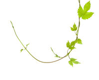 Two entwined young hops Royalty Free Stock Photography