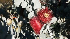 Two eucalyptus macrocarpa blossoms close up