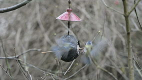 Two Eurasian blue tits Cyanistes caeruleus on bird feeder in winter. coconut stock video footage