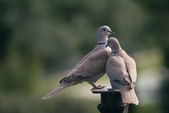 The rest of the pigeons. Two Eurasian collared doves Streptopelia decaocto in a relaxed attitude, but at the same time alert royalty free stock photography