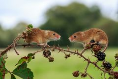Two Eurasian harvest mice on a blackberry plant stock images