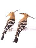 Two eurasian hoopoe stock image