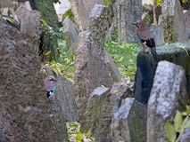 Two eurasian jay in the Jewish cemetery, Prague Stock Images