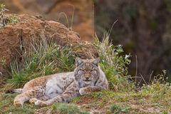 Two eurasian lynxes Stock Photo