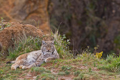 Two eurasian lynxes. In a wild life park Royalty Free Stock Image
