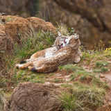 Two eurasian lynxes Stock Photos
