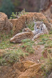 Two eurasian lynxes Stock Photography