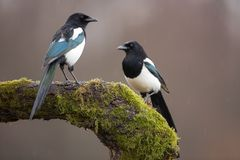 Free Two Eurasian Magpies On Moss Covered Branch In Winter Stock Photos - 139116433
