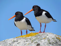 Two Eurasian Oystercatchers. Royalty Free Stock Images