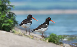 Two Eurasian Oystercatchers Royalty Free Stock Images