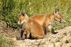 Two eurasian fox cubs in natural habitat Royalty Free Stock Image