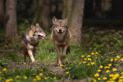 Two Eurasian Wolfs appearing from the woods Royalty Free Stock Photos