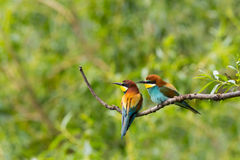 Two european bee-eaters birds  merops apiaster sitting on bran Royalty Free Stock Images
