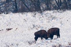Two European Bisons (Bison bonasus) fighting Royalty Free Stock Photography
