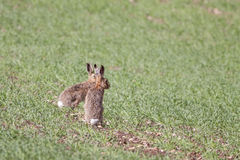 Two European or Brown Hares (Lepus europaeus) Stock Photos