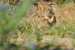 Two european ground squirrel in grass Royalty Free Stock Images
