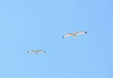 Two european herring gull (Larus argentatus) Royalty Free Stock Images