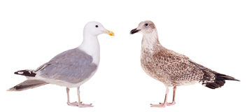 Two European Herring Gulls, young and adult Stock Image