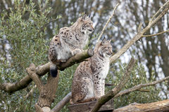 Two European Lynx. Sitting in a tree Royalty Free Stock Photo