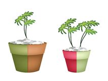 Two Evergreen Plant in Ceramic Pots Royalty Free Stock Photo
