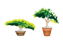 Two Evergreen Plant in Terracotta Flower Pot Royalty Free Stock Photography