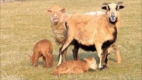 Two ewe and two lambs in the meadow in spring stock video