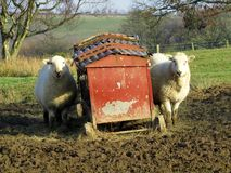Ewes at mobile feeding station. Two ewes in a sunlit field, by a red, mobile animal feeding station Royalty Free Stock Image