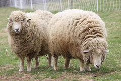 Two Ewes. Two woolly sheep grazing in a field on a farm Royalty Free Stock Photography