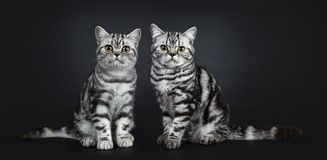 Excellent black silver tabby blotched British Shorthair cat kittens,isolated on black background. Two excellent black silver tabby blotched British Shorthair cat royalty free stock photo