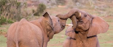 Two Young Elephants Friends Greeting Royalty Free Stock Photography