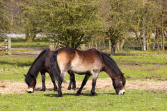 Two exmoor ponies. Grazing in a field in springtime Royalty Free Stock Images