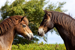 Two Exmoor ponies. Two wild Exmoor ponies looking at each other Stock Images